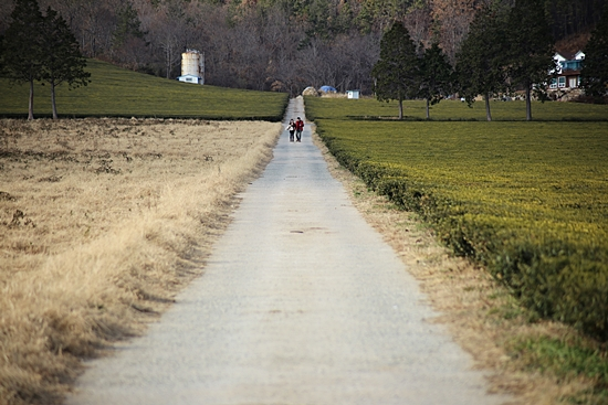 넓은 들판에 펼쳐진 차밭 풍경. 그 길을 걷고 싶다.