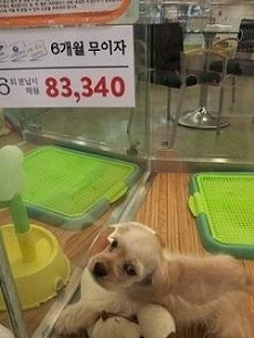 """""""무이자 할부로 들여가세요"""" 대형마트 펫샵에서 강아지가 무이자 할부 판매용으로 전시되어 있다. '가족'이라고 부르지만 생명에 대한 예의조차 찾아볼 수 없다."""