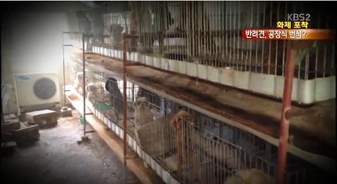 공장식 종견장 이곳에서 어미 개들은 발정제를 맞고 임신과 출산을 반복하는 '번식기계'로 살아간다. 펫샵에서 동물을 구매하는 사람들이 있는 한 공급하는 사람도 있게 마련이다.