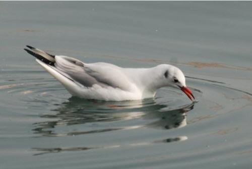붉은부리갈매기 검은머리갈매기에 비해 부리가 길고 크기가 크다