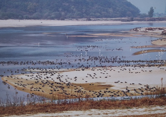 4대강사업 전의 모래톱이 풍성한 해평습지의 모습. 철새들이 평화롭게 쉬고 있다.