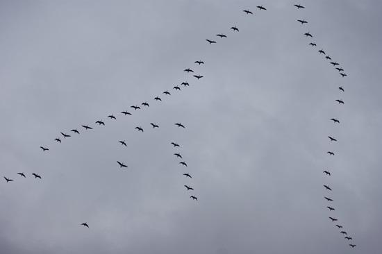 쇠기러기들이 편대를 이루어 날아가고 있는 모습이다. 2010년 초 해평습지.