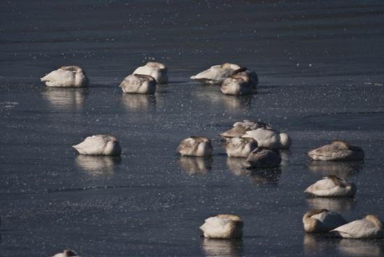 꽝꽝 얼어붙어 빙판이 된 낙동강에서 온몸을 웅크린 채 잠만 자고 있는 고니떼. 2013년 1월