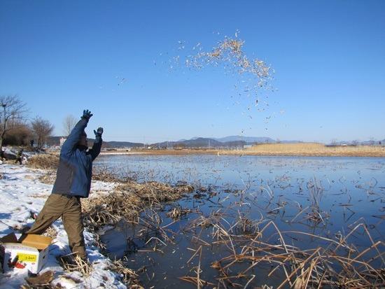 아사직전에 빠진 고니를 구조하라. 고니 먹이 주기 활동을 통해 긴급 구호활동을 벌이고 있는 대구환경운동연합 회원들. 2013년 1월