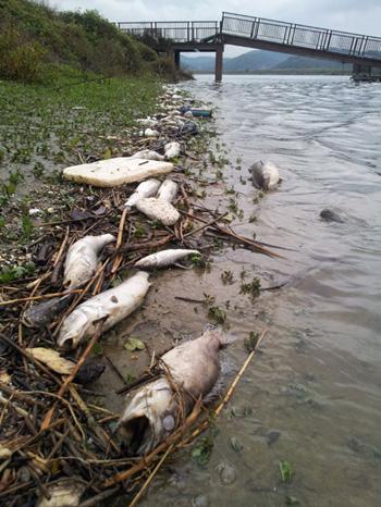 2012년 10월 22일 충남 부여대교 좌안에 죽은 물고기가 널려 있다.