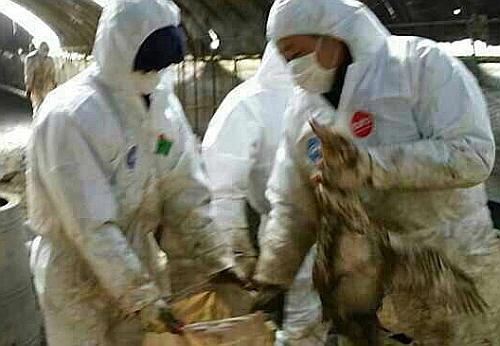 20일 오전 충북 음성군 맹동면의 한 오리농장에서 공무원들이 AI 확진 판정을 받은 오리를 자루에 담고 있다.