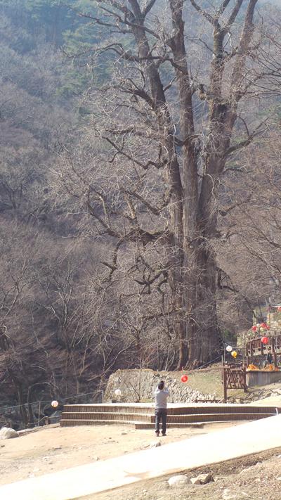 용문사 은행나무  나이가 약 1,100살 정도로 추정되며, 높이 42m, 뿌리부분 둘레 15.2m이다. 우리나라 은행나무 가운데 나이와 높이에 있어서 최고 높은 기록을 가지고 있으며 줄기 아래에 혹이 있는 것이 특징인 용문사에 은행나무
