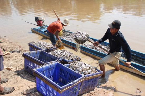 캄보디아 민물고기 젓갈 '프라혹'을 만들기 위해 준비중인 어민들