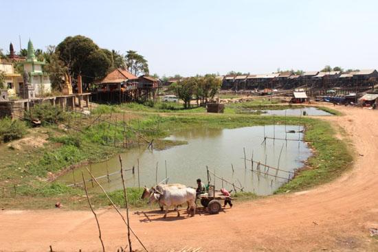 캄퐁프록 마을 전경 비교적 지대가 높은 좌측 언덕은 일년내내 우기철에도 물이 차지 않는 곳이다. 이곳엔 작은 불교사원과 초등학교가 위치해 있다. 흰소 두마리가 끄는 수레가 건기에 접어들어면서 생긴 황톳길을 지나가고 있다.