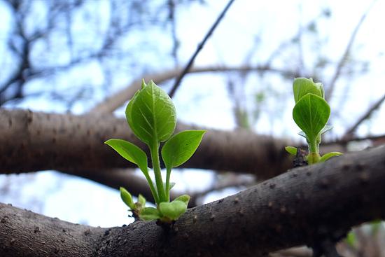 라일락 긴 겨울 지나고 완연한 봄날임을 알리듯 라일락 나무에도 새순이 돋았다.