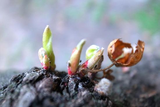 단풍나무 단단한 단풍나무를 뚫고 새순이 올라오고 있다. 아직 그 곁에는 떨구지 못한 이파리가 남아있다.