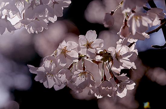 벚꽃 산 높은 마을 설악산자락의 오색리에도 벚꽃이 피었다.