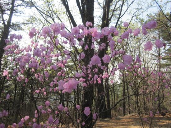 아차산의 봄을 대표하는 진달래꽃의 빛깔이 곱다.