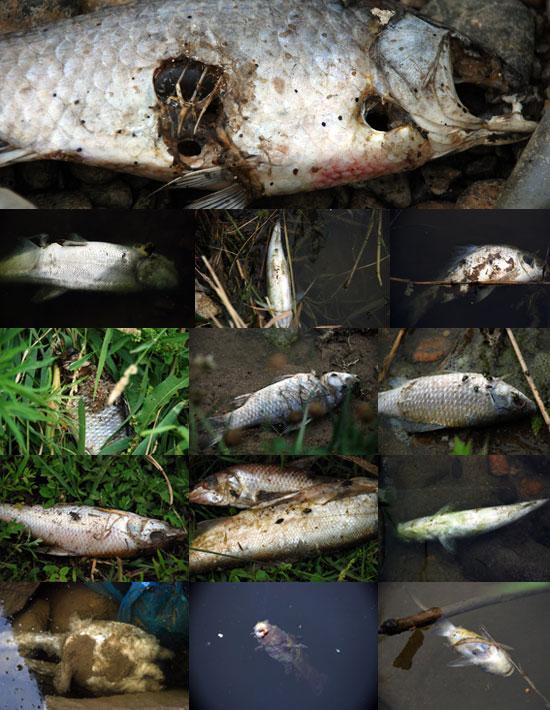 공주보가 보이는 수상공연장 부근부터 세종시 청벽부근까지 죽은 물고기가 썩으면서 악취를 풍기고 있다.