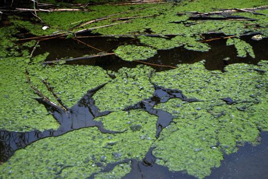 물 가장자리부터 창궐하기 시작한 녹조가 덩어리져 뭉쳐 있다.