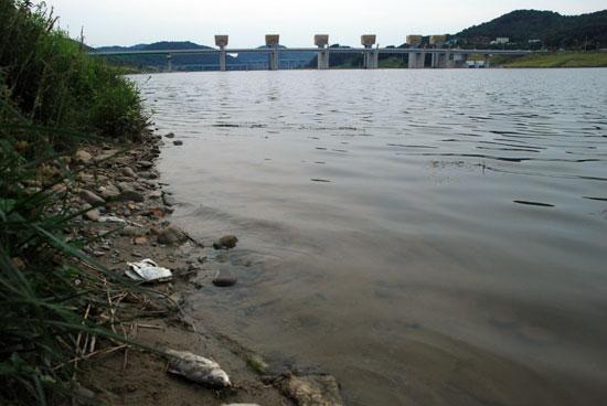 공주보가 보이는 수상공연장 부근부터 세종시 청벽 부근까지 죽은 물고기가 썩으면서 악취를 풍기고 있다.