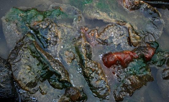 물가에 건져 놓은 큰빗이끼벌레는 비릿하고 시궁창 썩는 곳에서 풍기는 역한 냄새를 풍긴다.