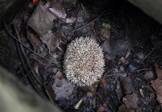 서울 강남 ㄷ아파트단지에서 발견된 고슴도치