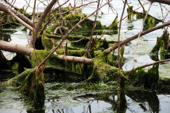 물이 빠진 낙동강 변 나뭇가지에 녹조가 뒤엉켜 있다.