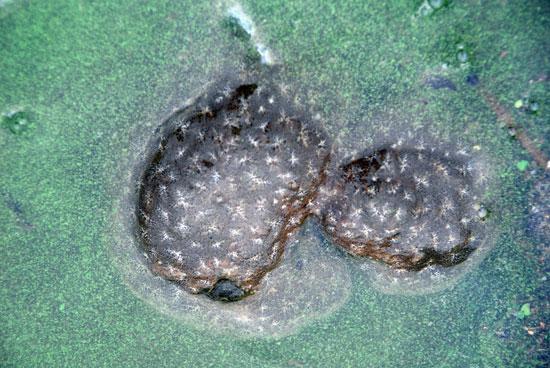 수온 상승으로 발생하기 시작한 녹조에 죽은 큰빗이끼벌레가 갇혀있다.