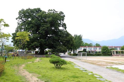 한재초등학교와 느티나무. 조선 태조 이성계가 직접 심었다고 전해지고 있다. '이성계 나무'로도 불린다.