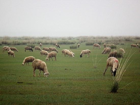 초원의 양떼 내몽고의 사막화는 양떼의 먹이인 풀들을 사라지게 만들고 있다.