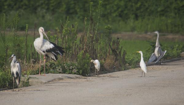 봉순이와 어울려 노는 다른 새들. 백로와 왜가리에 비해 큰 봉순이가 두드러지게 보인다.