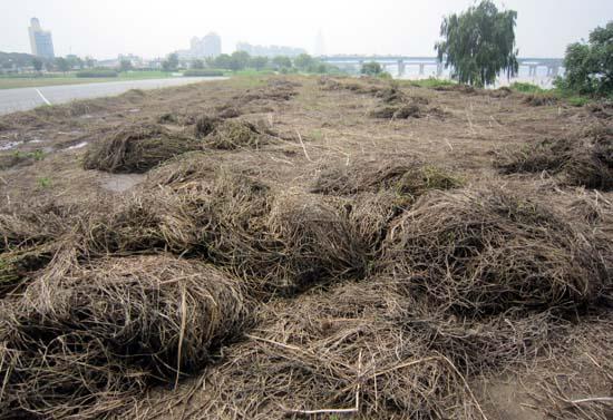 한강 환삼덩굴 제거 작업후 2014.8 암사동 생태보전 지구 주변의 환삼덩굴 제거 작업 후 모습. 다른 식물이 전혀 없음.