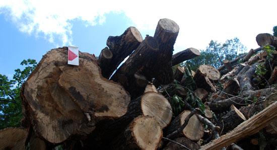 거대한 나무들이 벌목되어 해발 1100m 산 중턱에 쌓여 있다.