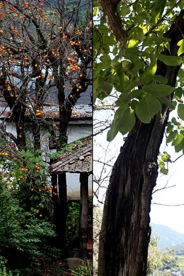 일찍 감이랑 잎이 떨어진 감나무와 생명력 강한 호두나무.