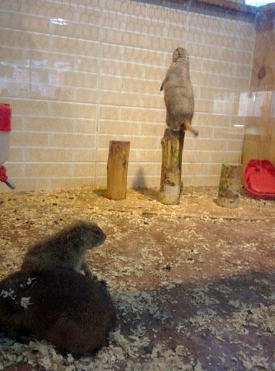 프레리 독. 한 마리 수컷 프레리 독이 야생에서처럼 열심히 망을 보고 있었다.
