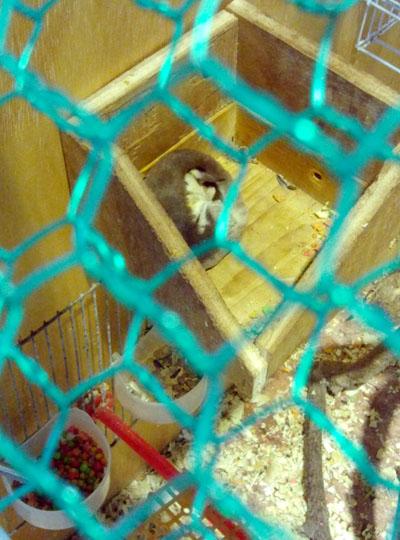 박쥐와 다람쥐를 합쳐 놓은 듯한 슈가 글라이더. 슈가 글라이더 역시 야행성 동물이다.