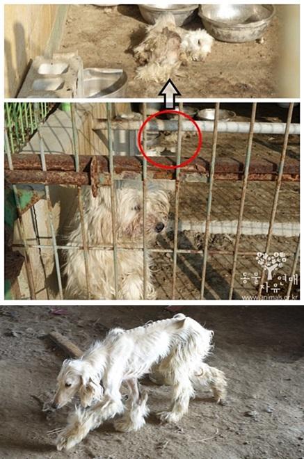 죽은 개의 사체와 같은 공간에 방치 된 개들 대다수의 개들이 영양실조로 뼈가 드러나 있었다.