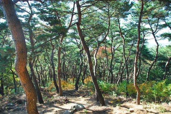 소나무숲 용도 외곽길에는 소나무들이 우거져있다