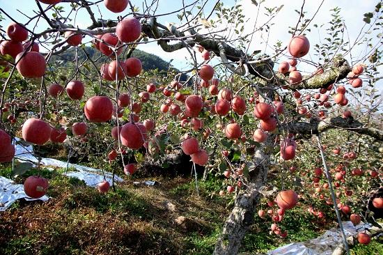 동네 사과밭