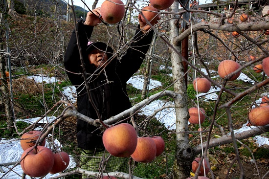 사과 따는 김족간 할머니