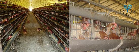 케이지에서 사육되는 닭들  A4 용지보다 작은 공간에서 평생 알만 낳고 살아가는 암탉. 관리를 편리하게 하고 많은 닭들을 수용해 생산성을 높이려 도입된 시스템이다.
