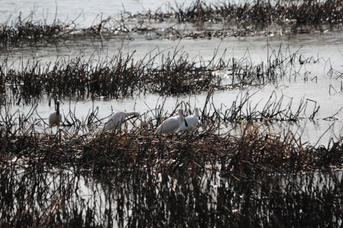 휴식과 깃털을 손질중인 노랑부리저어새의 모습 우포에서 휴식중인 노랑부리저어새