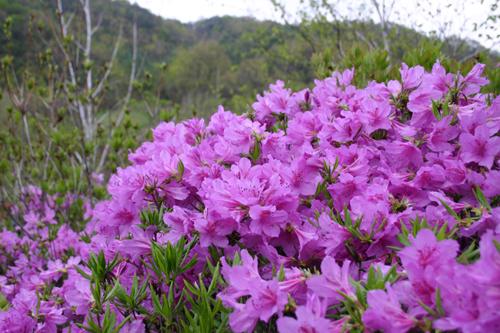 철쭉꽃으로,  꽃말은 '사랑의 즐거움'이다. (장소제공; 강원도 횡성 자작나무숲 미술관)