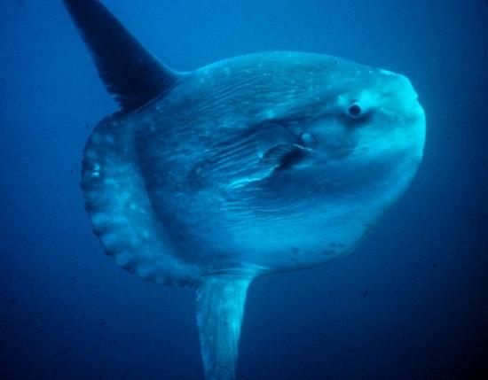 바다를 헤엄치는 개복치 바다 속을 헤엄치고 있는 개복치의 모습. 성체로 성장하고 나면 천적이 거의 없지만, 3억 개의 알 중 성체까지 성장하는 개복치는 1~2마리에 불과하다. 힘든 생존싸움을 벌여야 하는 개복치의 모습에 누군가는 자신을 투영하고 있다.