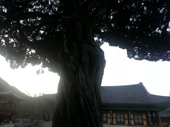 은해사 절마당에 있는 450년의 향나무. 우람한 위용이 눈길을 끈다.