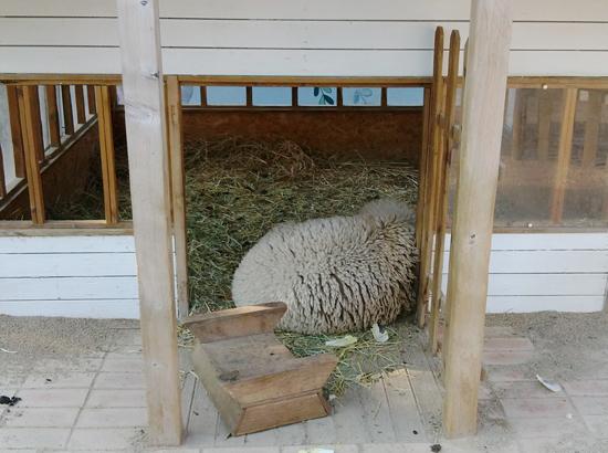 얼마 전 함께 살던 양이 죽고, 사육사가 밥을 주러 와도 신경질적인 모습을 보인다는 남은 양 한 마리.