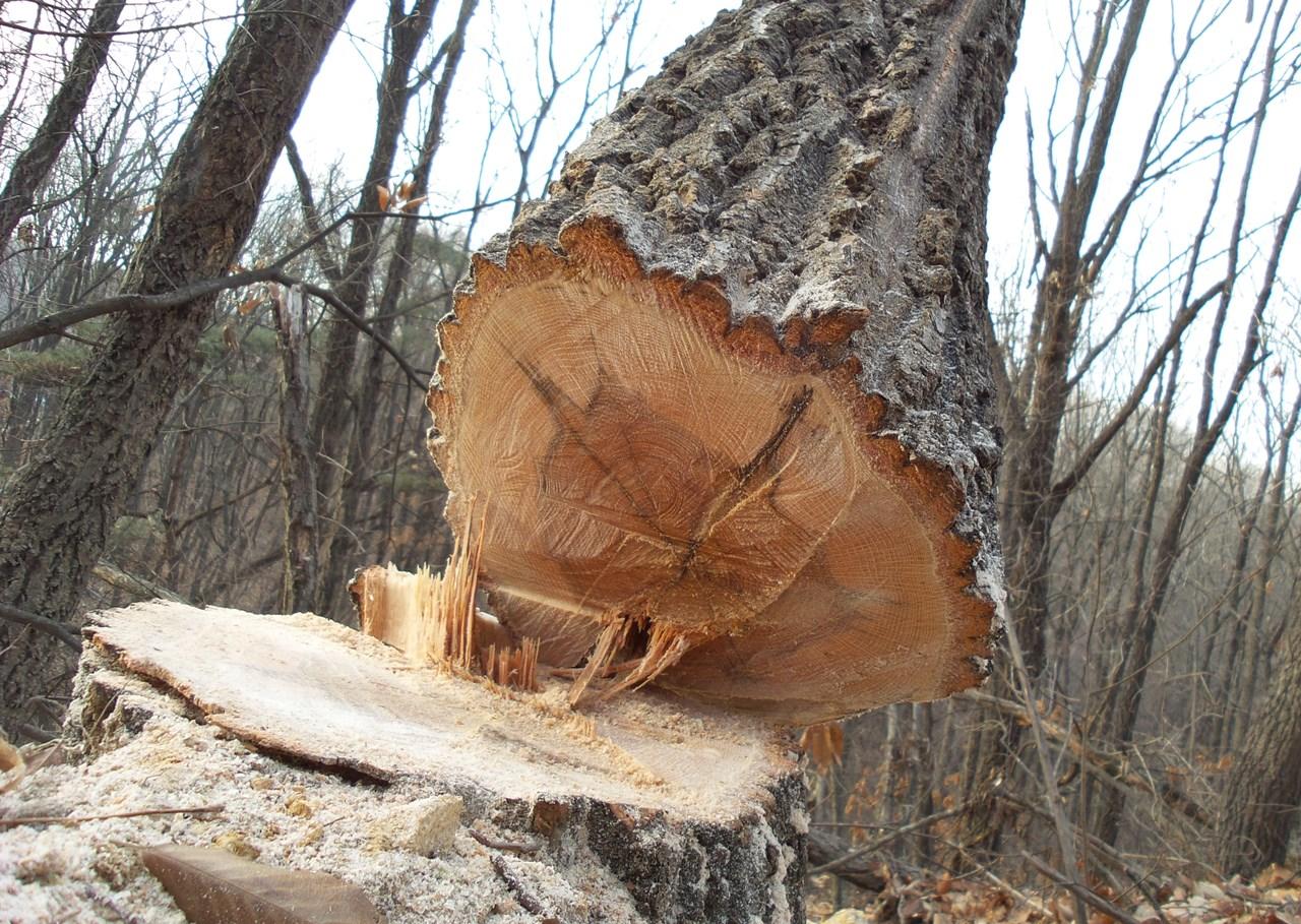 45살이 넘는 굴참나무가 하루아침에 잘려나갔다. 환경영향평가서가 허위 작성된 타당성도 없는 사업 때문에, 40여년간 숲을 지켜 온 나무가 죽음을 맞은 것이다.