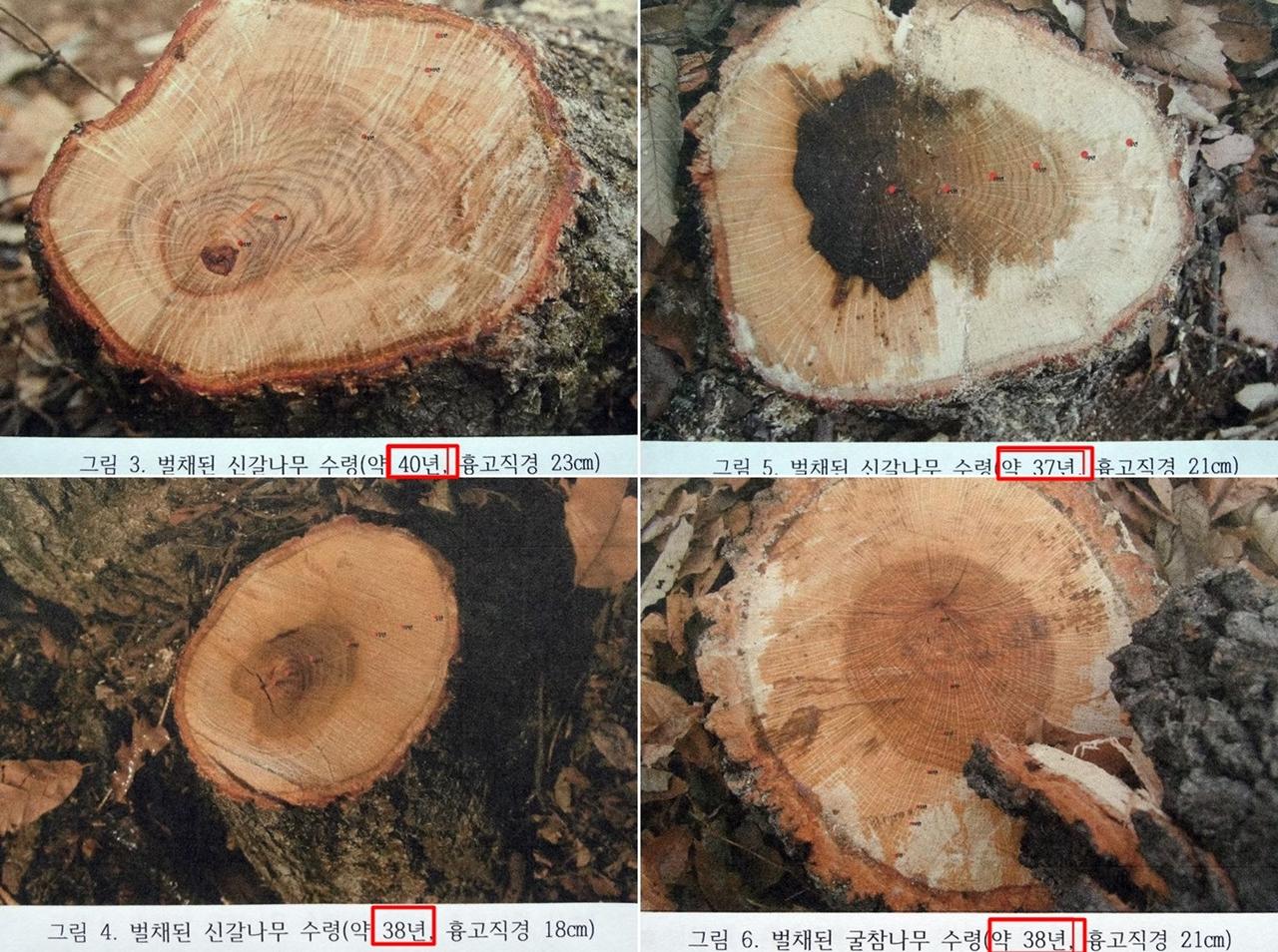 상지대학교 엄태원 교수는 S사가 잘라낸 나무의 지름과 나이테를 정확하게 조사했다. 대부분 38년에서 40년된 신갈나무와 굴참나무들이었다. S사 스스로 이곳의 나무들이 8등급임을 증명해준 것이다.
