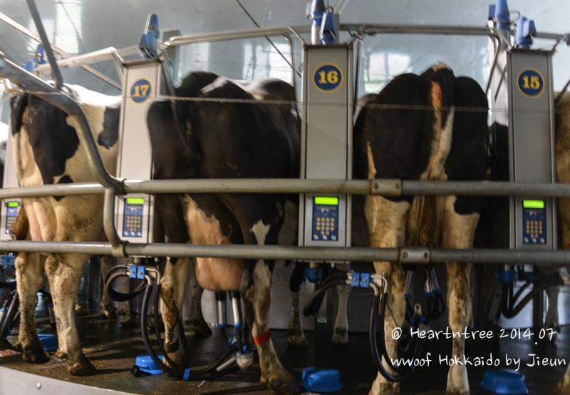 아침에는 젖을 짜고 오후에는 목장에 방목하는 일본 농가 소들