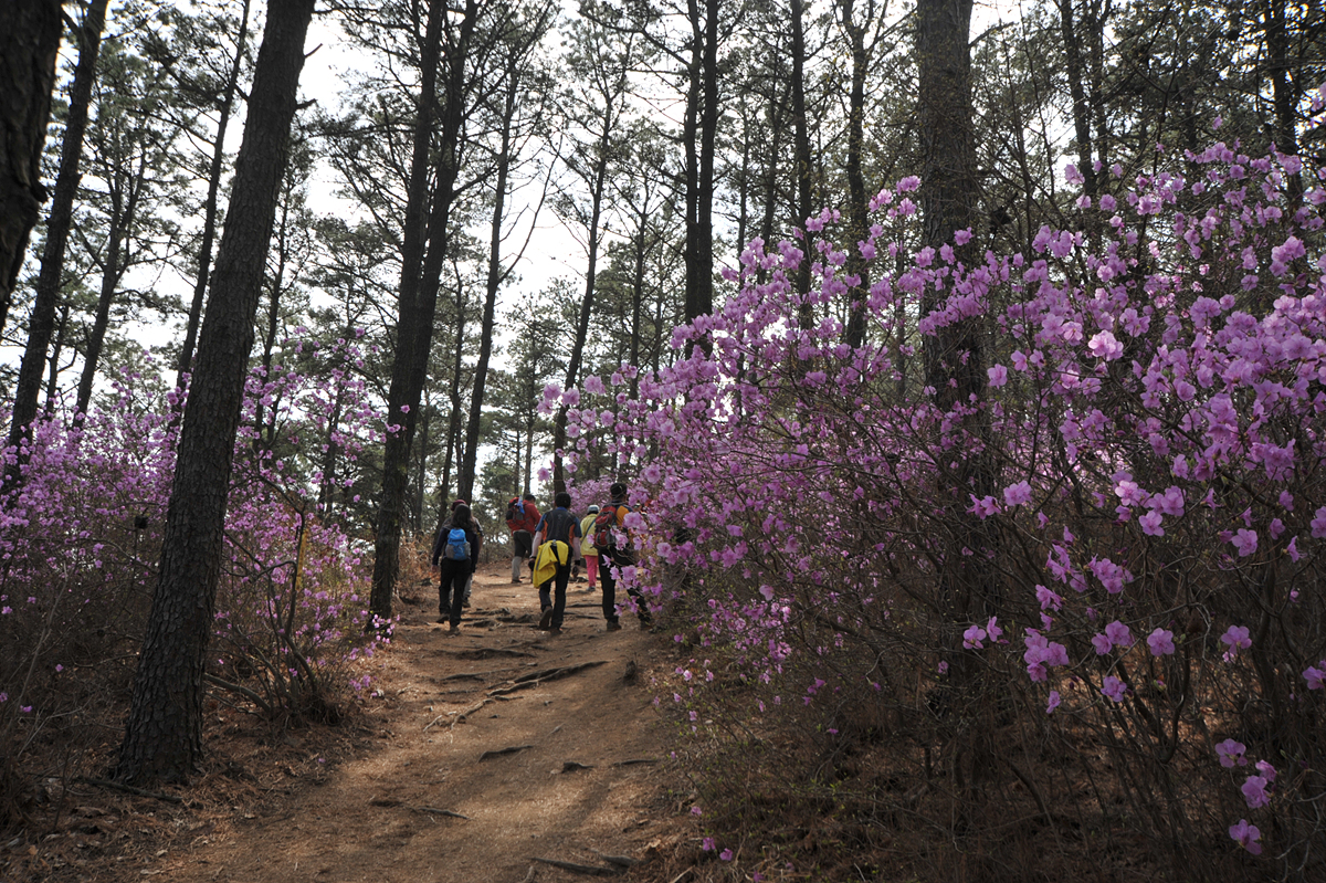진달래 숲길을 걷는 등산객들