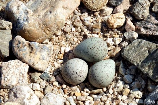 흰목물떼새 알. 모래톱 자갈밭에 세 개의 알을 낳아뒀다. 자갈과 구별이 잘 안돼 찾기가 어렵다.