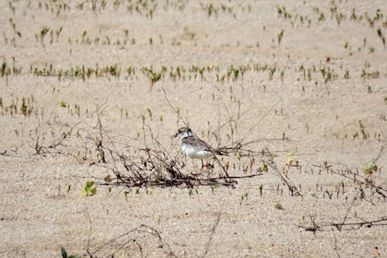 멸종위기 2급종 흰목물떼새. 알 주변을 경계의 눈초리로 바라보고 있다