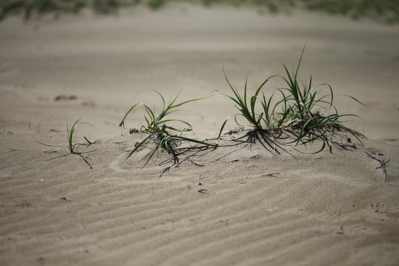 초록생명 보리사초로 보이는 초록생명이 모래사막에서 자라고 있다. 잡초임에도 감사할 뿐이다.