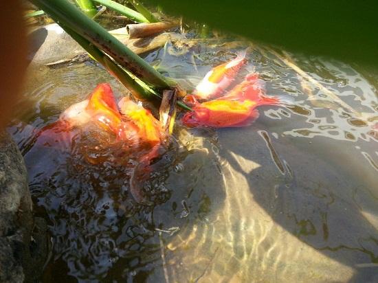 지난 봄 봄비 그친 무렵 금붕어들이 수초 주변에 모여 들여 막 산란을 시작한다